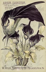 Arum sanctum, the black calla