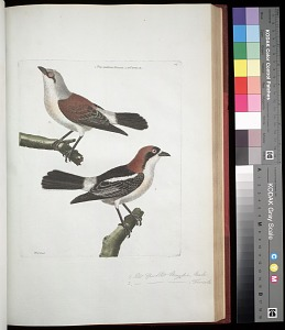 Plate 76: 1. Red Speckled Magpie, Male. 2. [Red Speckled Magpie], Female