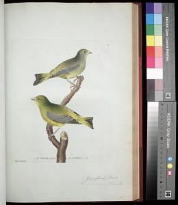 Plate 87: 1. Greenfinch, Male. 2. [Greenfinch], Female
