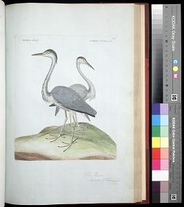 Plate 105: The Heron Male & Female