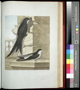 Plate 125: 1. The Great Martin. 2. [The] Little [Martin]