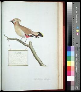 Plate 158: The Waxen Chatterer