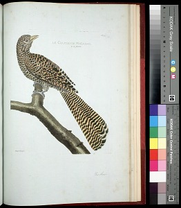 Plate 165: Cuckoo