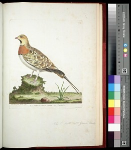 Plate 174: The Pintailed Land Grouse, Male