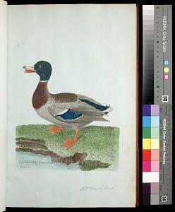 Plate 31: Wild Duck, Male