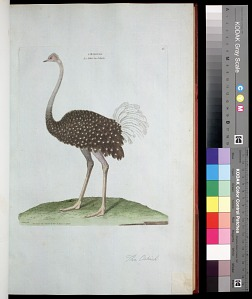 Plate 46: The Ostrich