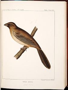 Birds--Plate XXX