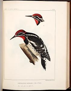 Birds--Plate XXXV