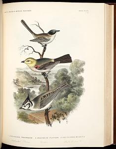 Birds--Pl XV (53)