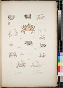 Cancroidea. Pl. 8