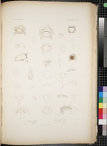 Cancroidea. Pl. 16