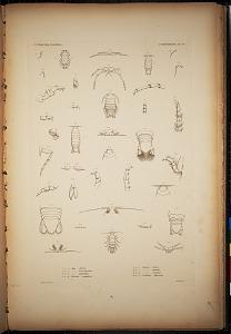 Cymothoidea. Pl. 51
