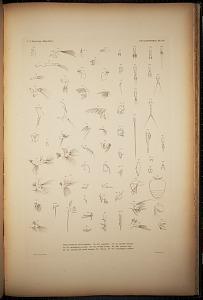Cyclopoidea. Pl. 71