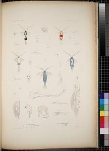 Cyclopoidea. Pl. 82
