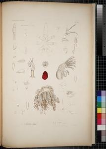 Lernaeopoda californiensis, Pycnogonum oriental, Anatifidae, Acata sporillus