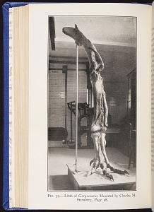 Fig. 39. Limb of Gorgosaurus. Mounted by Charles M. Sternberg.
