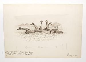 Giraffes feeding among long grass (Jebel Zeraf - February 19, 1913)