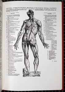 Secunda commonstrandis musculis paratarum figura posterio…