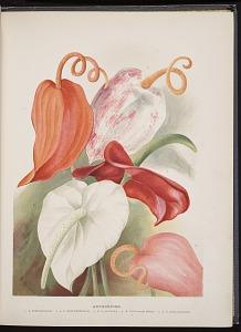 Anthuriums. 1. A Scherzerianum. 2. A.S. Rothschildianum. 3. A.S. parisiense. 4. A. Andreanum album. 5. A.A. atropurpureum.