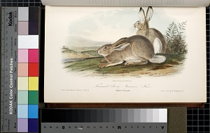 Townsend's Rocky Mountain Hare