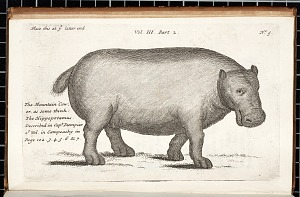 The Mountain Cow or as some think the Hippopotamus