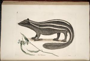 Pseudo Phalengium, Putois