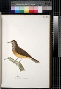 Turdus ocragaster