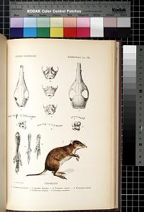Marsupialia. Lám. VIII