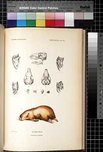 Marsupialia. Lám. IX