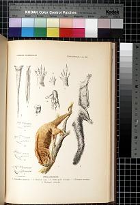 Marsupialia. Lám. XII
