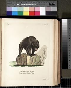 Ursus ferox