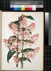 Epidendrum Paniculatum. Reinwardt