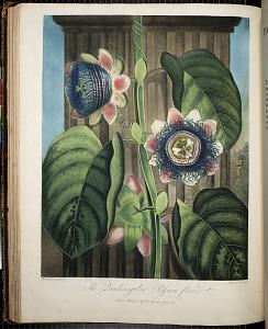The Quadangular Passion Flower