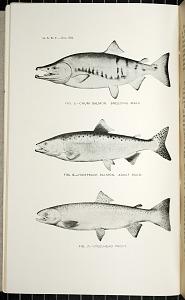 Fig. 5 - Chum Salmon. Breeding Male. Fig. 6 - Humpback Salmon. Adult Male. Fig. 7 - Steelhead Trout.