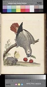 Plate 12 - A Parrot