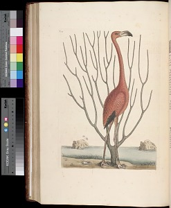 T. 73 - The Flamingo