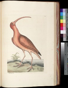 T. 84 - The Red Curlew