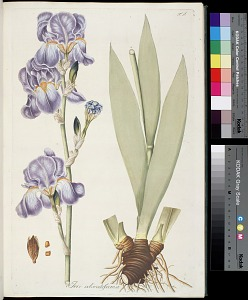 T. 9 - Iris odoratifsima