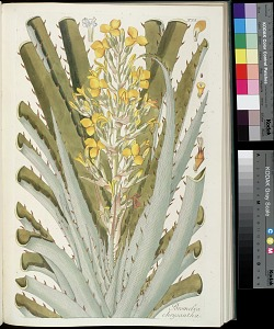 T. 55 - Bromelia chrysantha