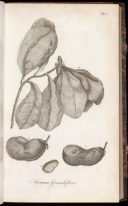 Annona Grandiflora