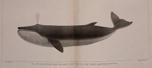 The California Gray Whale (Rhachianectes glaucus).