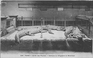 Caïmans ou Alligators du Mississipi.