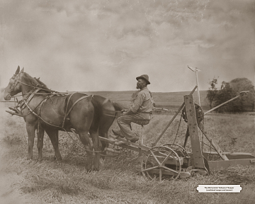 Two-horse team pulling a reaper, around 1910.