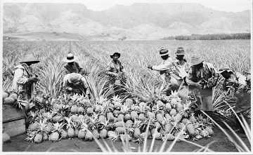 Hawaiian pineapple plantation, around 1915