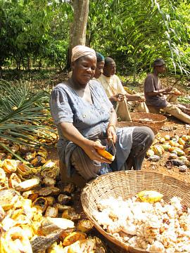 Harvesting cacao, Ghana, 2011