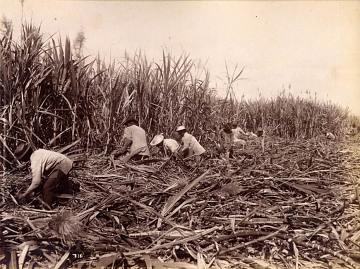 O'ahu, Hawaii, sugar plantation, about 1900