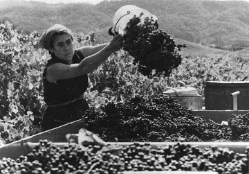 Barbara Winiarski harvesting grapes, early 1970s