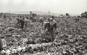 Braceros in the Salinas Valley, 1956
