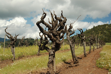 """Old gnarly"" vines, 1999"