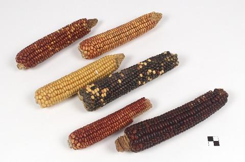 Image 1 for Corn ear/ears